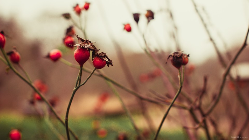 WallPaper briar 1920x1080 red